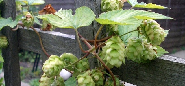 How to Grow Hops at Home: A Primer