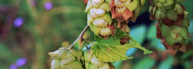 Whole Cone Hops + Hop Pellets + Hop Extract…What's The Difference?